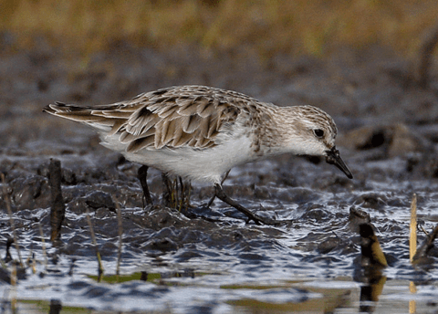 170225-Red-necked-Stint-Ed-Dunens-480x344.png